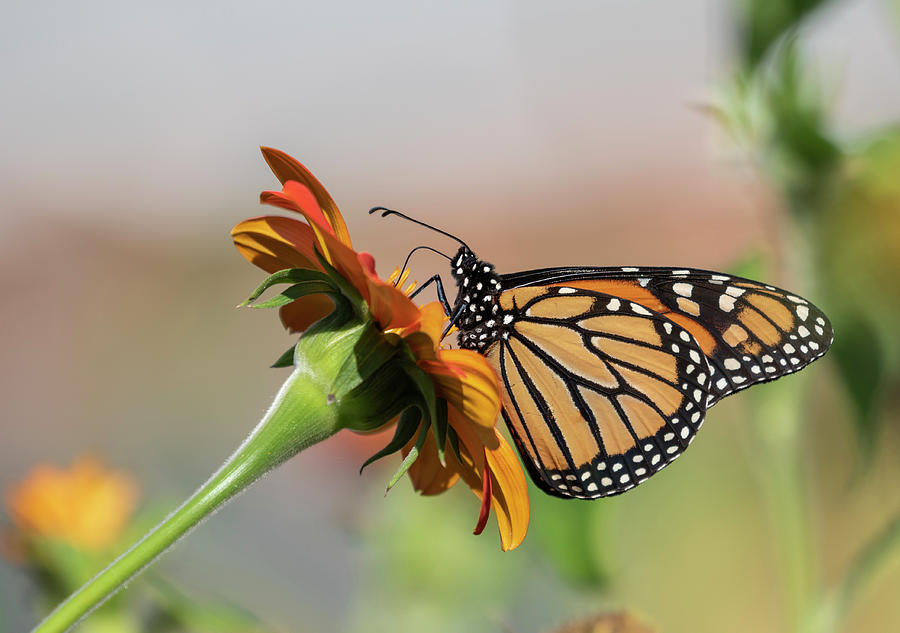 Monarch Butterfly Photograph - Monarch 2018-28 by Thomas Young