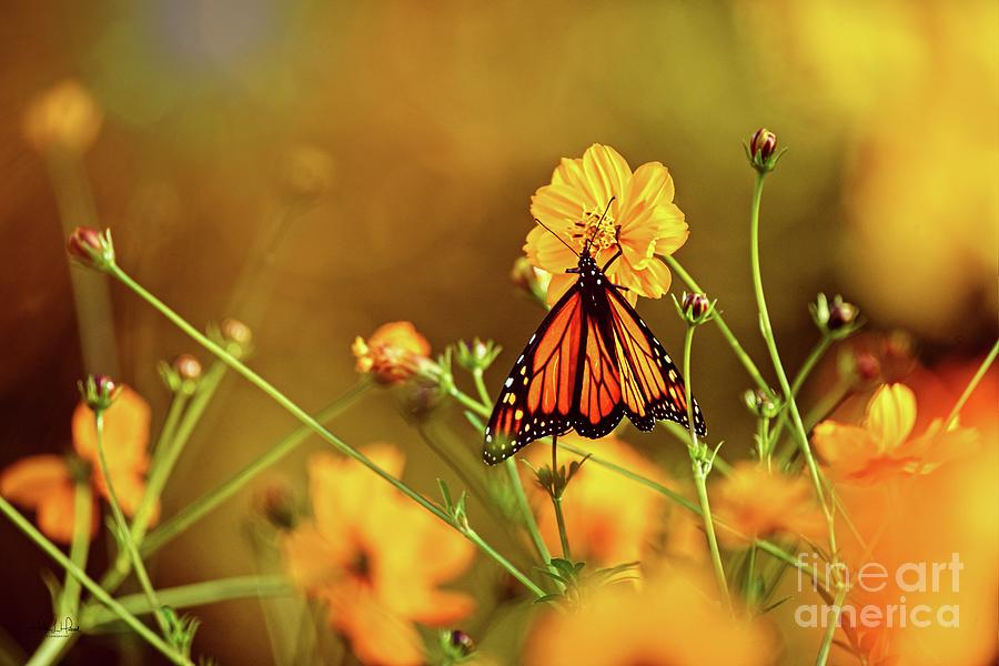 Monarch and Cosmos Photograph by Heather Hubbard