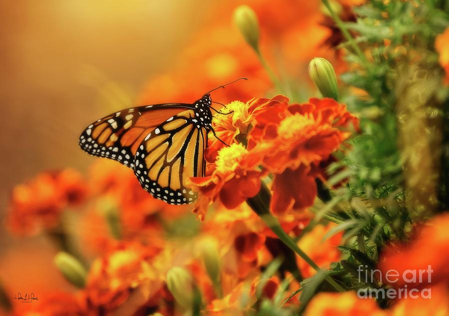 Monarch and Marigold Photograph by Heather Hubbard