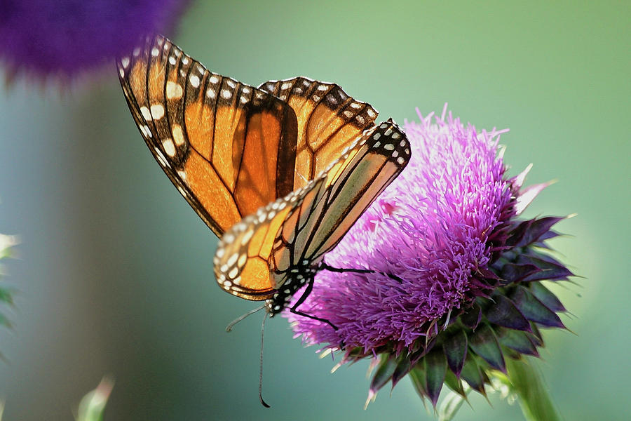 Monarch and Thistle by Betty Depee