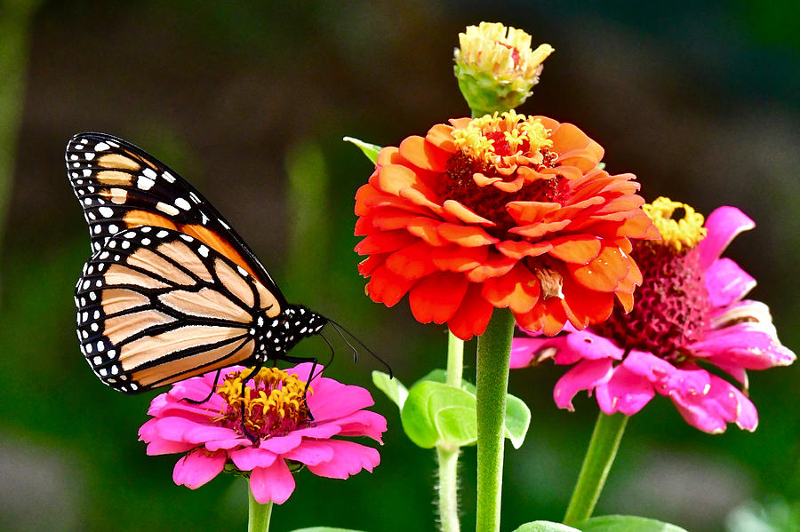 Monarch and Zinnias 6716 by Michael Peychich