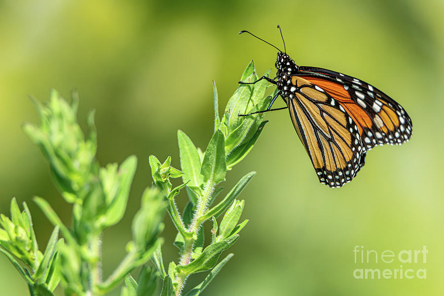 Monarch at the Marsh by Jackie Johnson