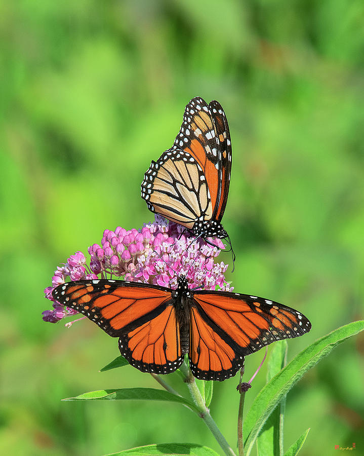 Monarch Butterflies DIN0293 by Gerry Gantt