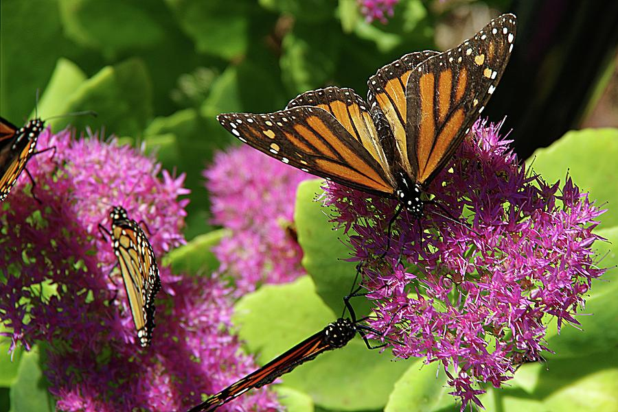 Monarch Butterflies by Karen McKenzie McAdoo