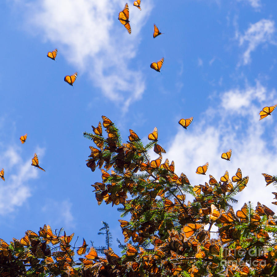Cluster Photograph - Monarch Butterflies On Tree Branch In by Jhvephoto