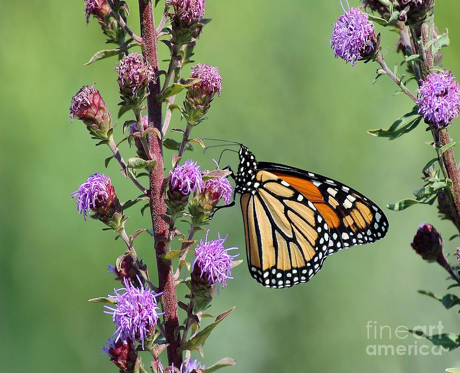 Monarch Butterfly 3 by Steve Edwards