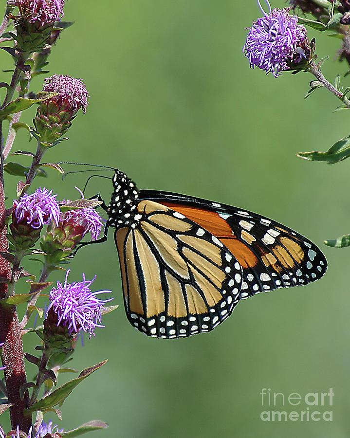 Monarch Butterfly 4 by Steve Edwards