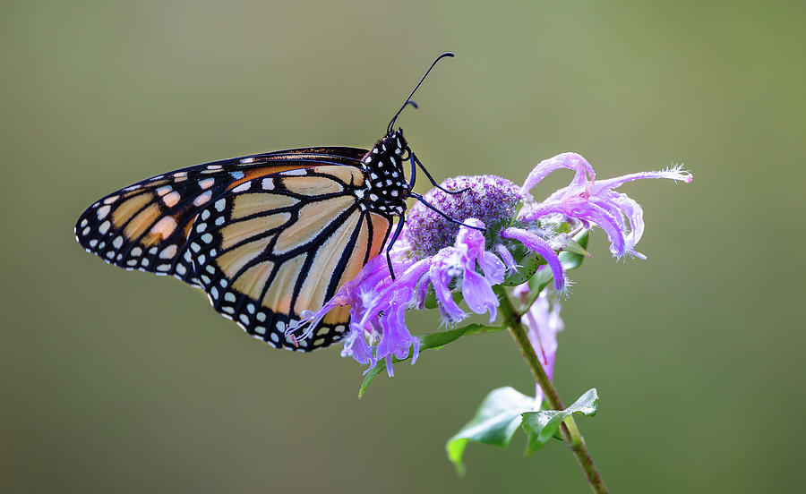 Monarch Butterfly Beauty by Dale Kincaid