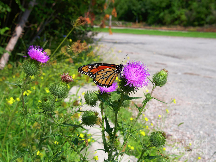 Monarch Butterfly Photograph - Monarch Butterfly Danaus Plexippus On A Thistle by Louise Heusinkveld