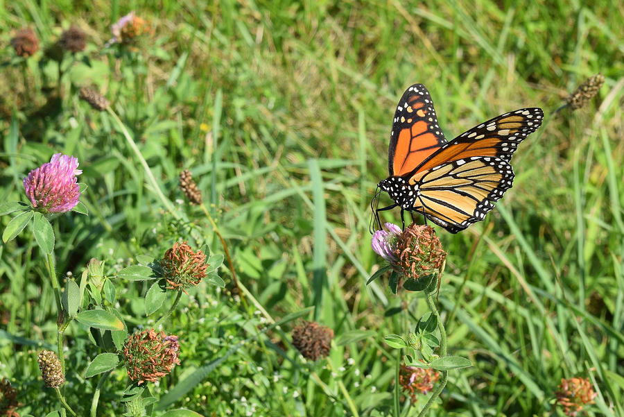 Monarch Butterfly Doing His Job by Deborah A Andreas