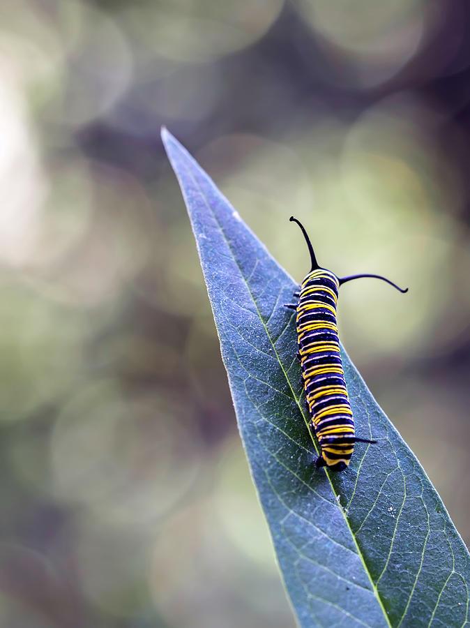 Monarch Butterfly Grub On A Leaf Photograph by Alberto J. Espiñeira Francés - Alesfra