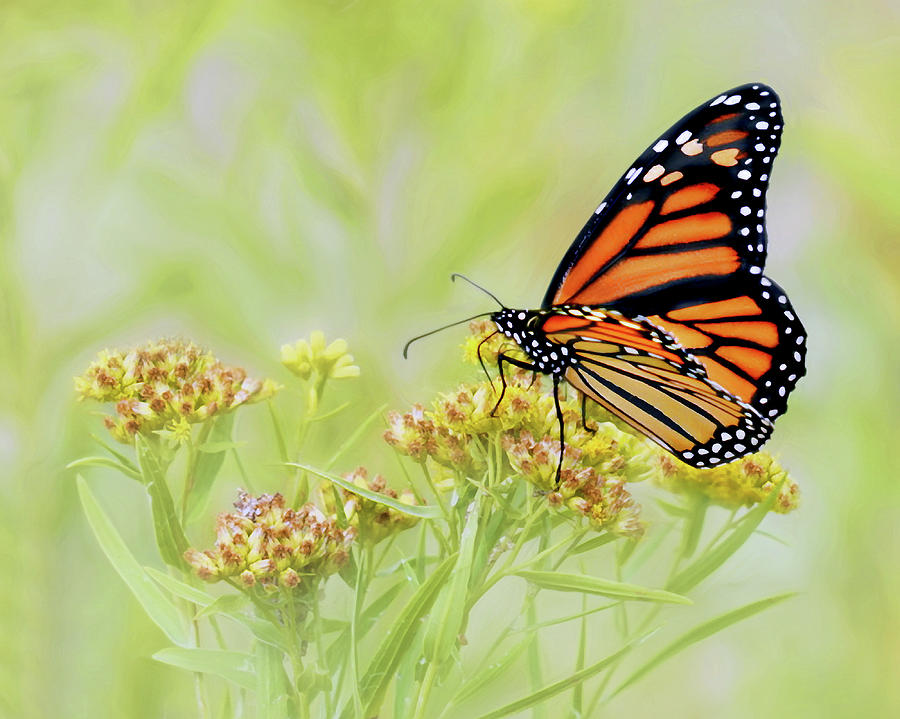 Butterfly Photograph - Monarch Butterfly - In the Light by Nikolyn McDonald