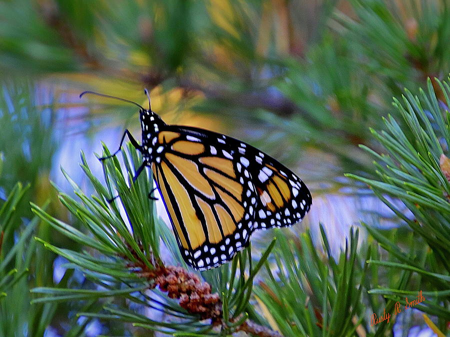 Monarch butterfly on a pine bough. by Rusty R Smith