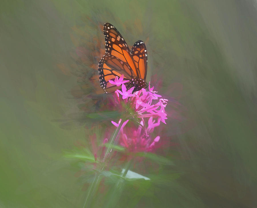 Monarch Butterfly on a Pink Flower by Pamela Walton