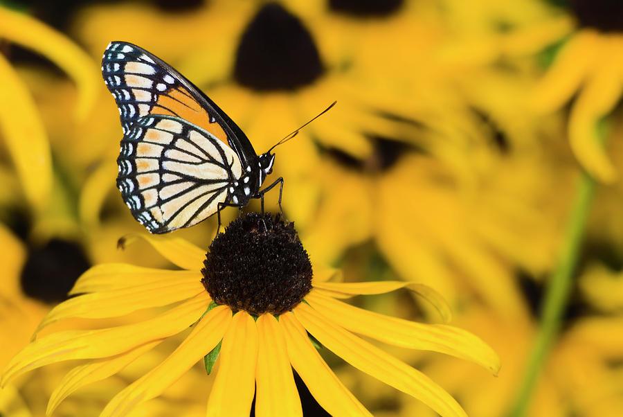 Monarch Butterfly On Black-eyed Susan Photograph by Alpamayophoto