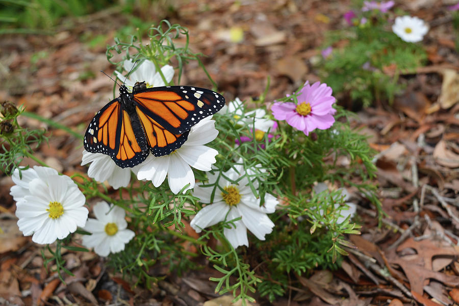 Monarch Butterfly on Cosmos by Aimee L Maher ALM GALLERY