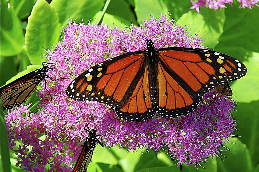 Monarch Butterfly on Flowers by Karen McKenzie McAdoo