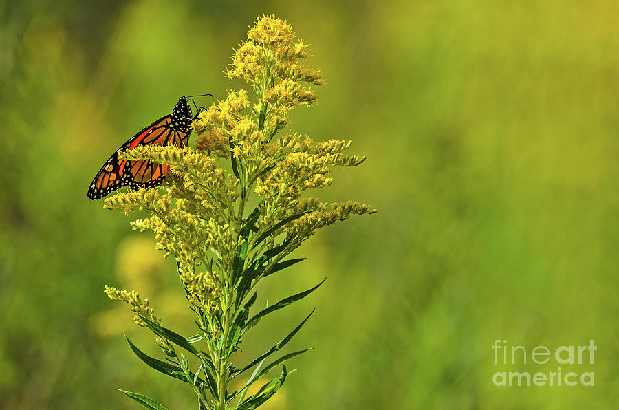 Monarch Butterfly on Goldenrod by Sue Smith