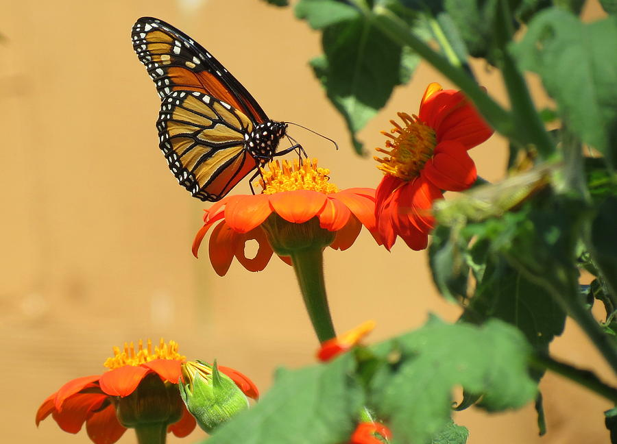 Monarch Butterfly Photograph - Monarch Butterfly On Mexican Sunflower by Kay Novy
