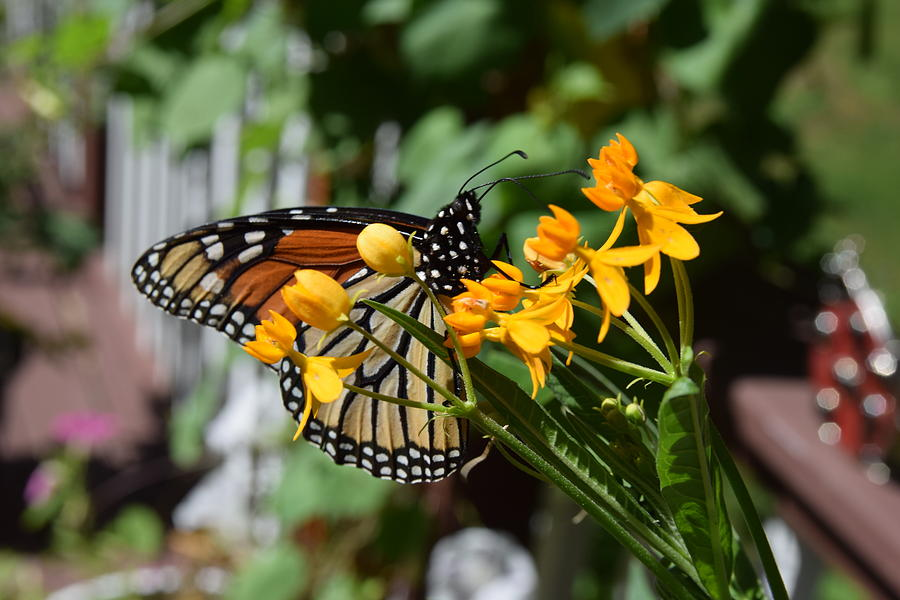Monarch Butterfly on Milkweed Plant by Deborah A Andreas