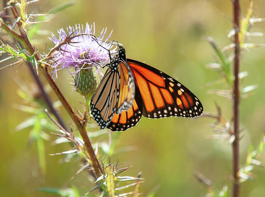 Monarch Butterfly Photograph - Monarch Butterfly On Thistle 2 by Lara Ellis