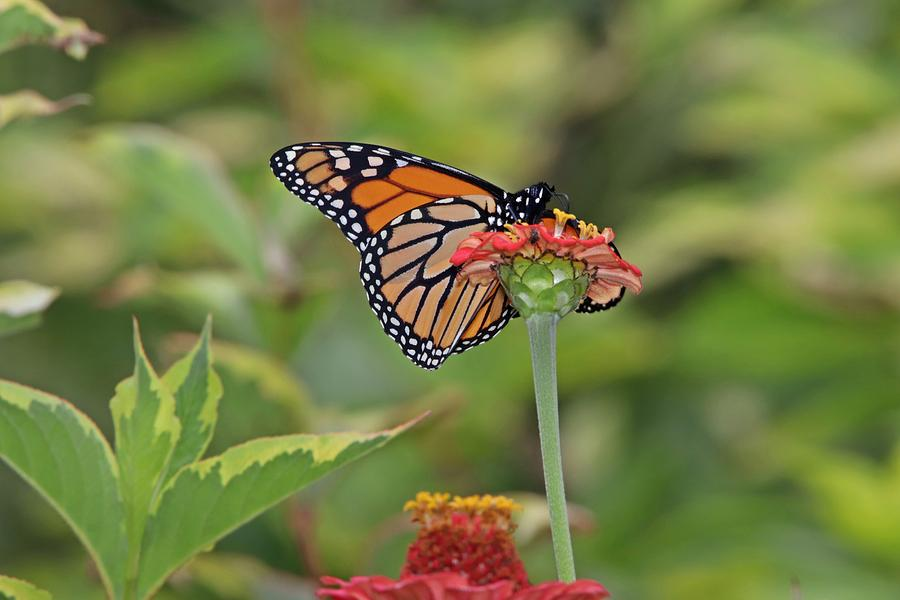 Monarch Butterfly On Zinnia Photograph