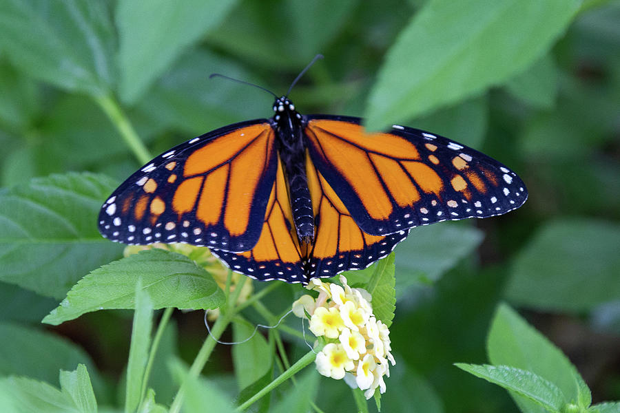 Monarch Butterfly by Patricia Schaefer