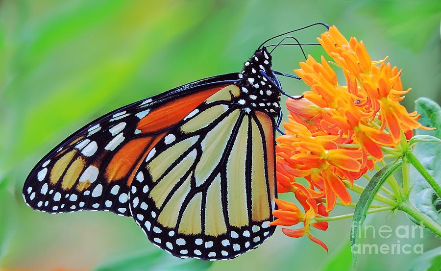 Monarch Butterfly by Randy J Heath