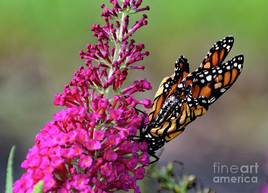 Monarch Butterfly Recently Emerged From Pupas Photograph