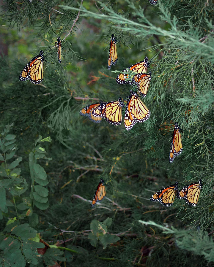 Monarch Butterfly Photograph - Monarch Butterfly - Staging - 3 by Nikolyn McDonald