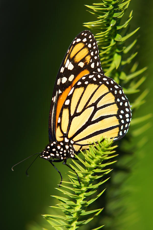 Monarch Butterfly Photograph by The Photography Factory