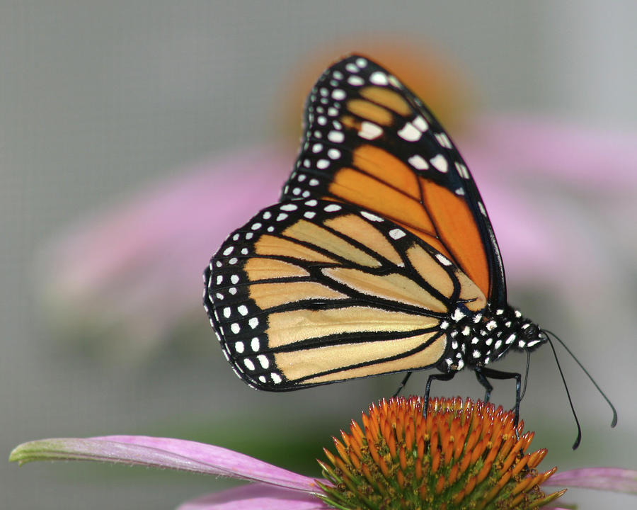 Monarch Butterfly Photograph by Wind Home Photography