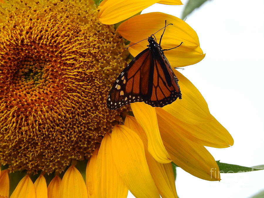 Monarch Butterfly With A Sunflower Head by Eunice Miller