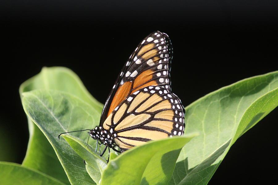 Monarch Photograph - Monarch by Callen Harty