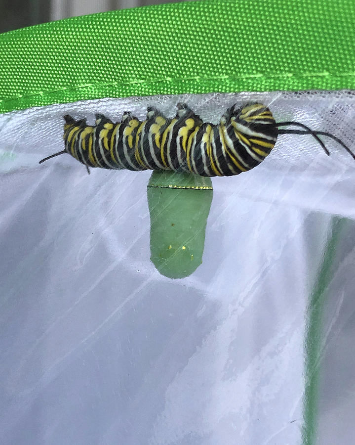 Monarch Catepillar and Chrysalis by Patricia Schaefer
