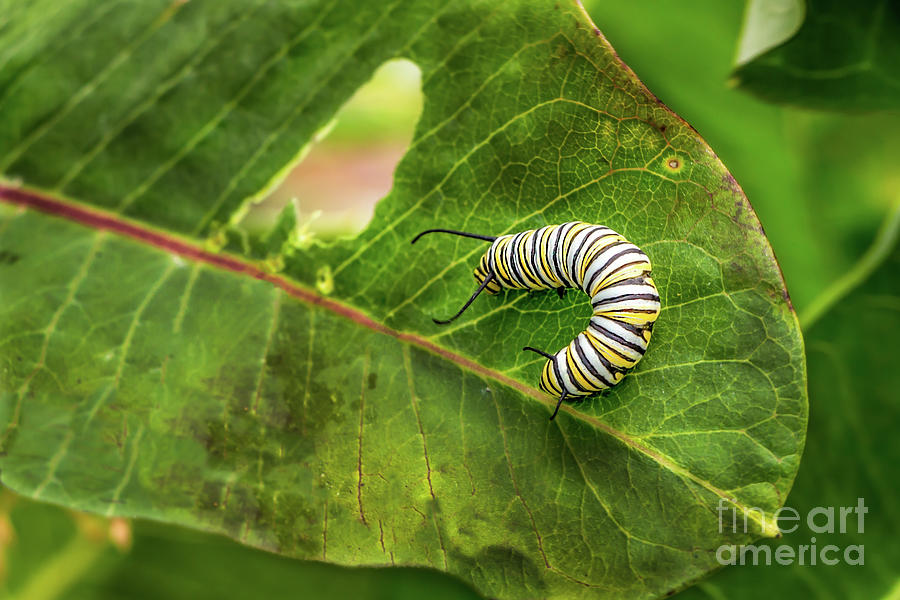 Monarch Caterpillar Photograph