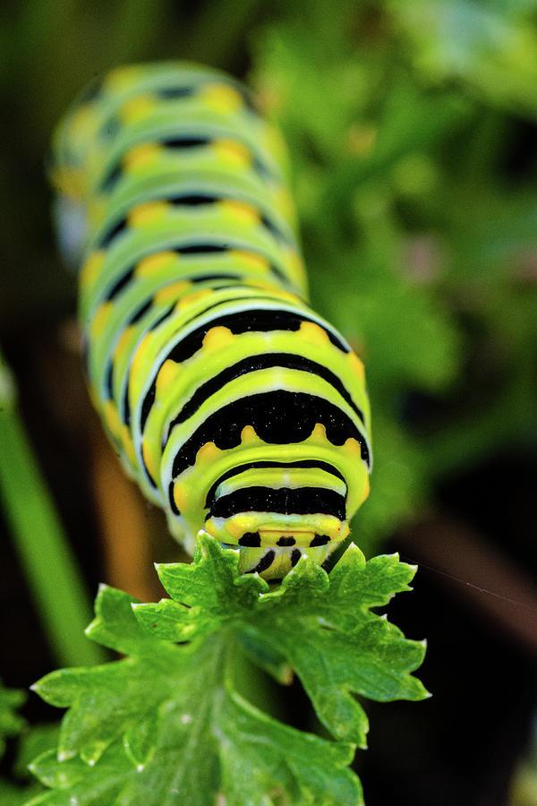 Monarch Caterpillar by Jeff Phillippi