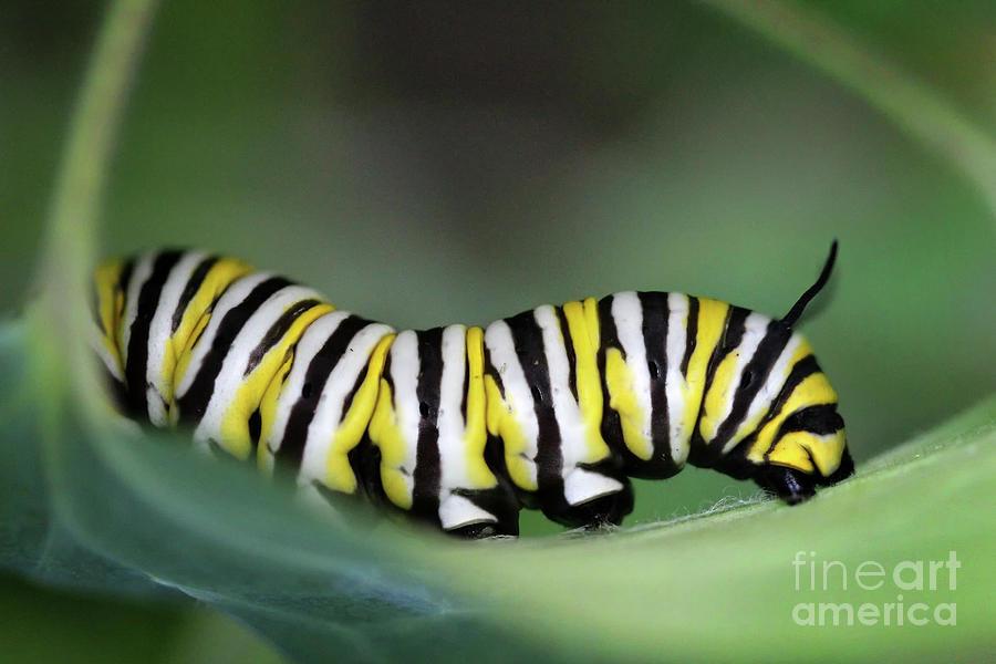 Monarch Caterpillar Macro by Karen Adams