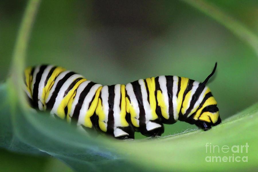 Monarch Butterfly Photograph - Monarch Caterpillar Macro Number 2 by Karen Adams