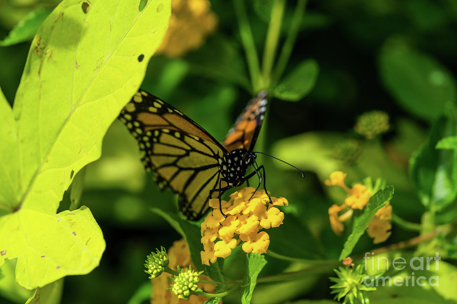 Monarch Hanging In The Shade by Jennifer White
