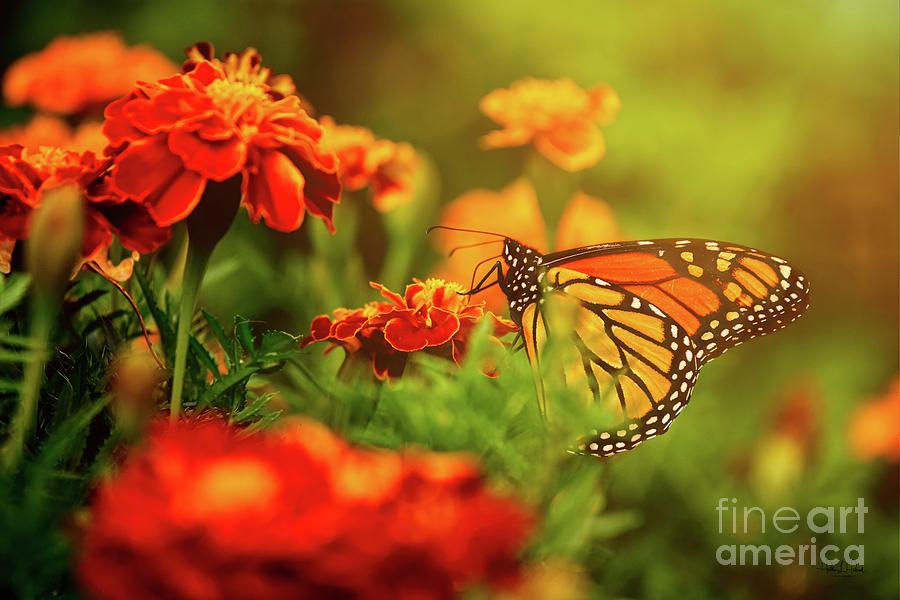 Monarch in Morning Photograph by Heather Hubbard
