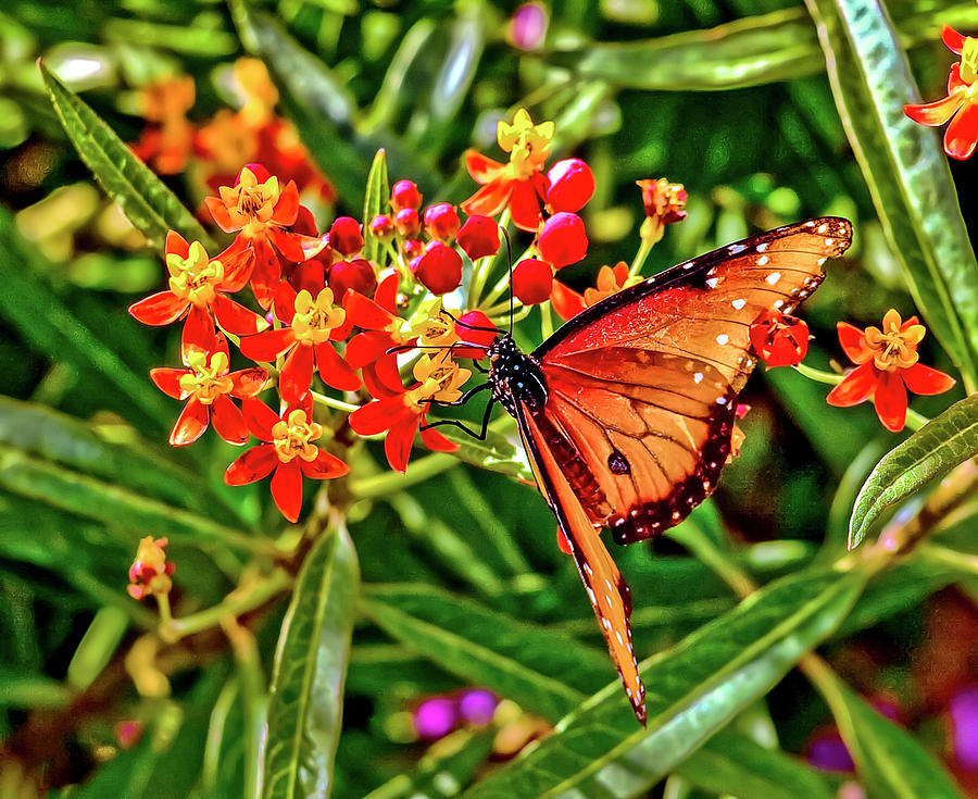 Monarch by Jim Collier