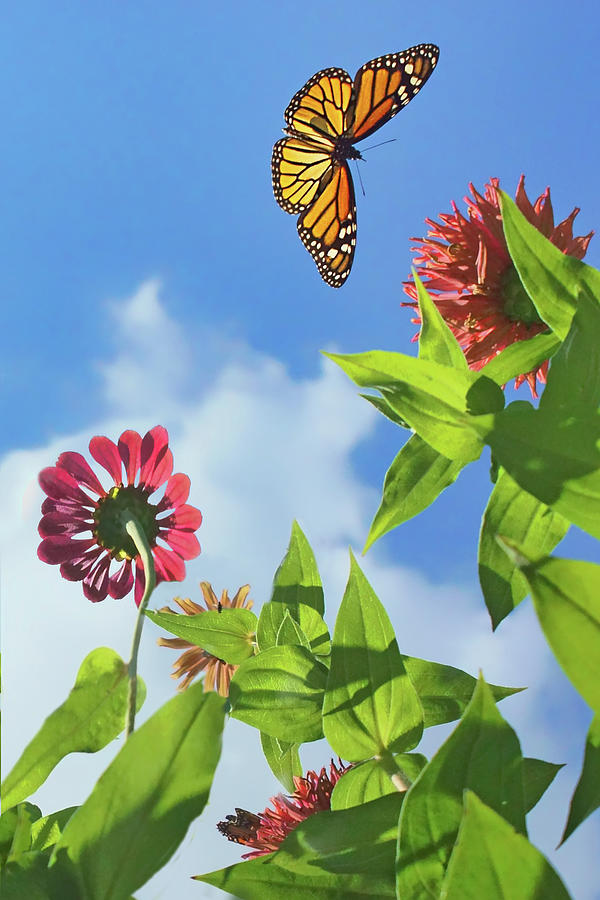 Monarchs Photograph - Monarch Migration - Butterfly by Nikolyn McDonald