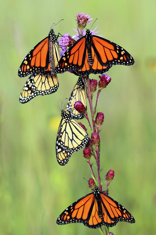 Monarch Migration by Carolyn Fletcher