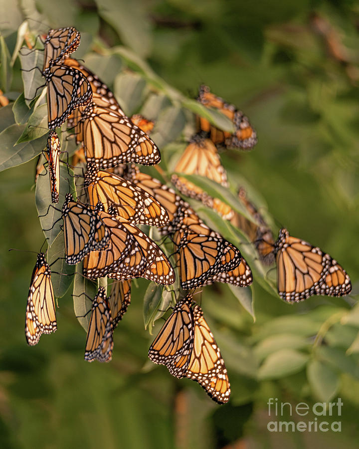 Monarch Photograph - Monarch Migration by Amfmgirl Photography