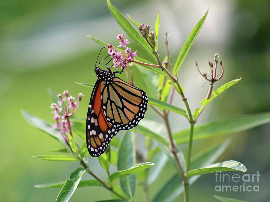 Monarch Milkweed Magic by Karen Adams