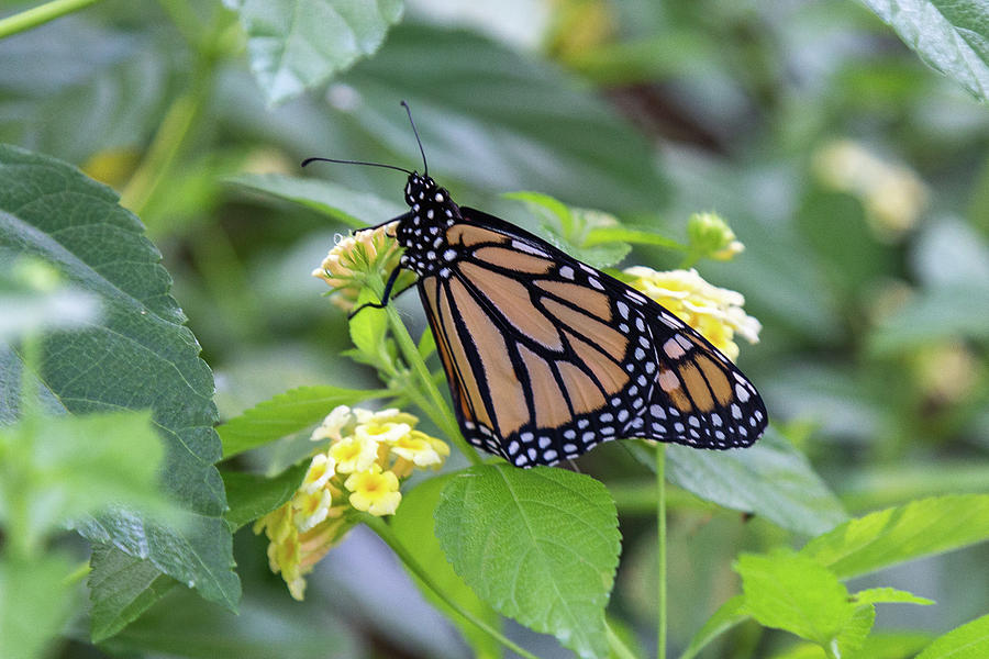 Monarch Moment by Patricia Schaefer