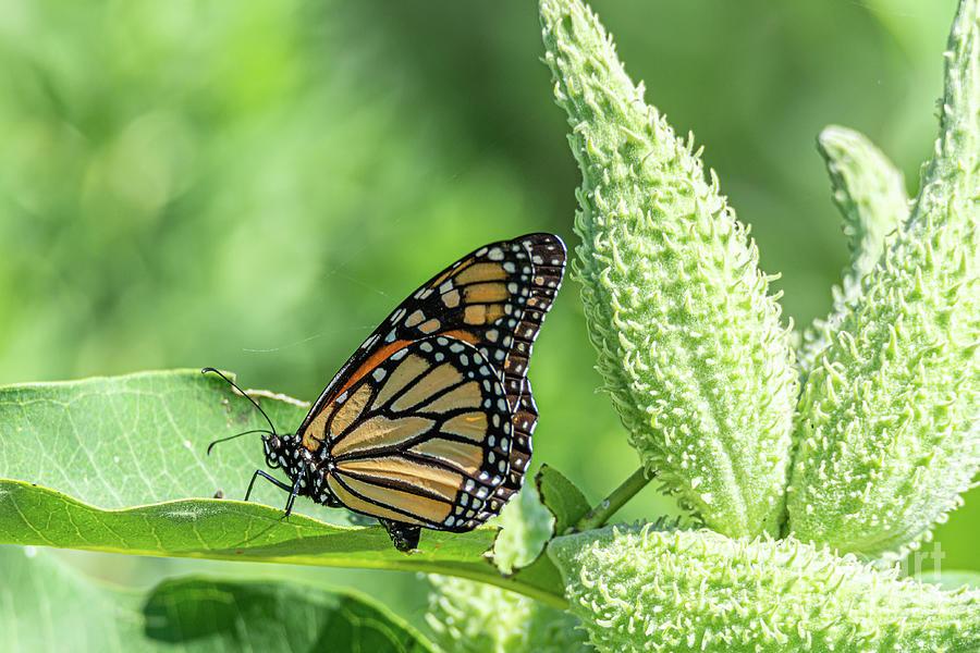 Monarch Munching on Milkweed by Jackie Johnson