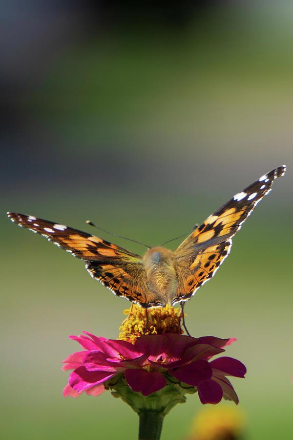 Monarch on a Pink Zinnia by Jason Fink