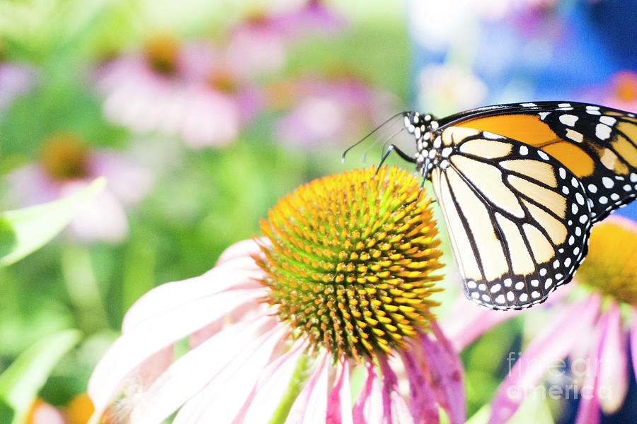 Monarch On Cone Flower by Randall Saltys